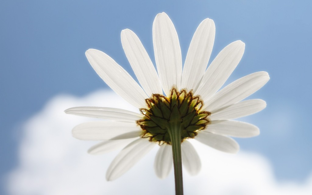chamomile-wallpaper-hd-20243-20752-hd-wallpapers