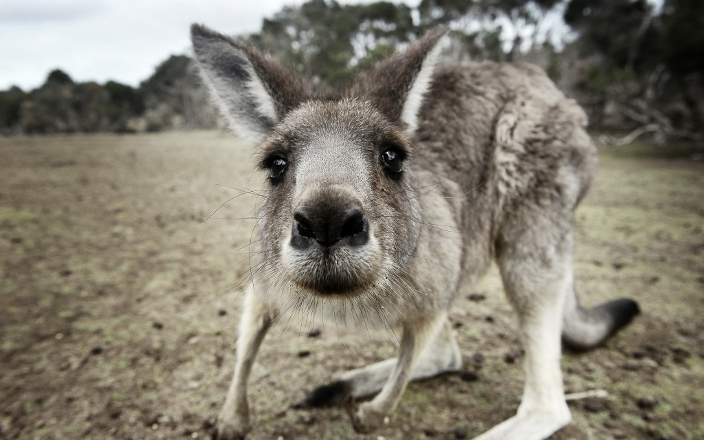 cute-kangaroo-23910-24566-hd-wallpapers