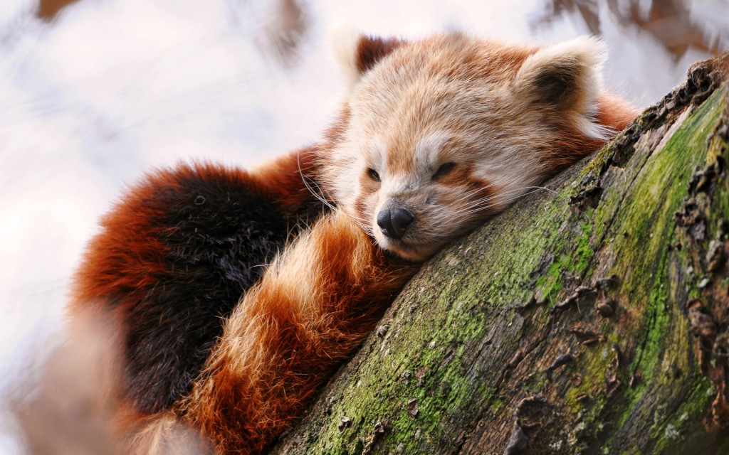 cute red panda wallpapers