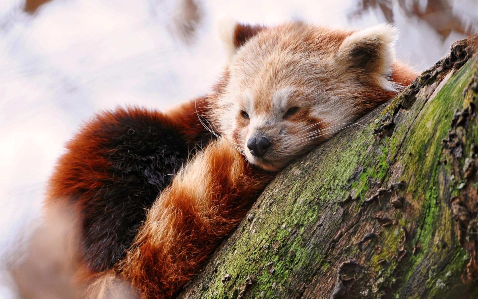 28 Wonderful HD Red Panda Wallpapers - HDWallSource.com  Cute Red Panda Wallpaper