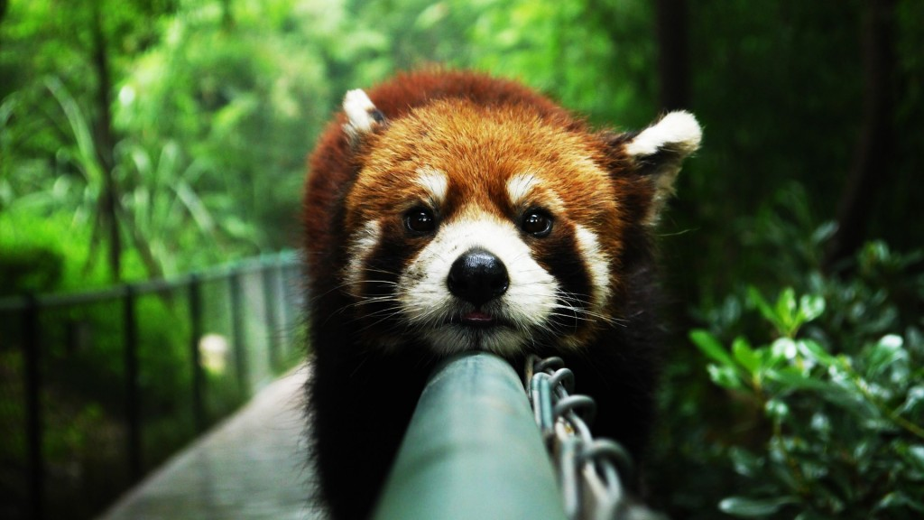 cute-red-panda-wallpaper-27523-28240-hd-wallpapers