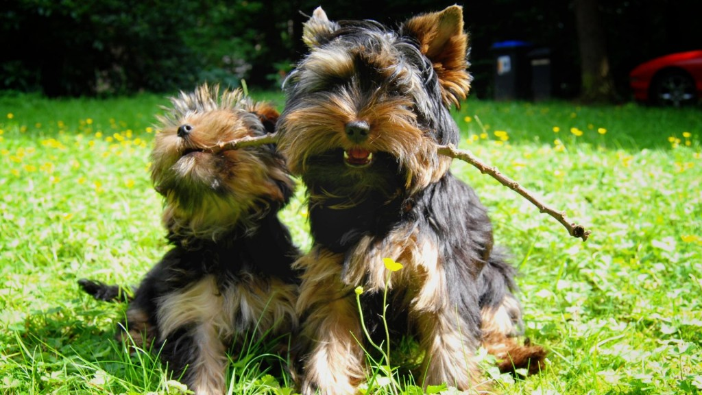 cute-yorkie-wallpaper-24223-24886-hd-wallpapers