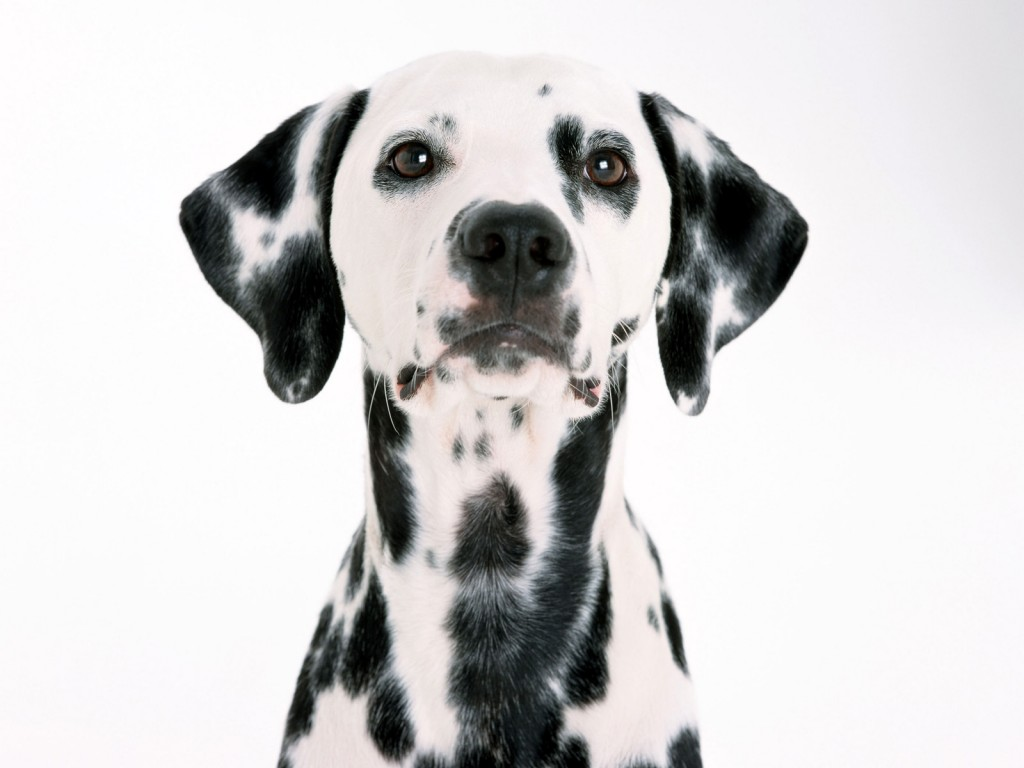 dalmatian-33065-33821-hd-wallpapers