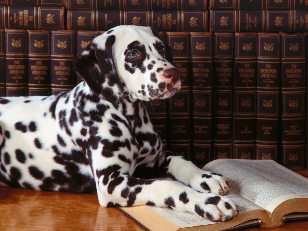 dalmatian-dog-computer-wallpaper-50352-52043-hd-wallpapers
