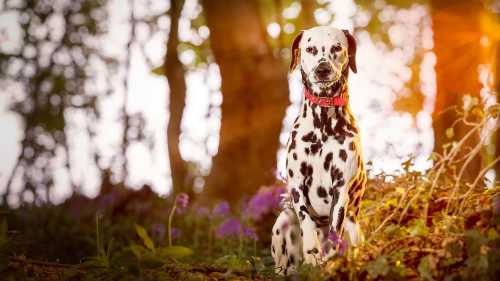 dalmatian dog wallpapers