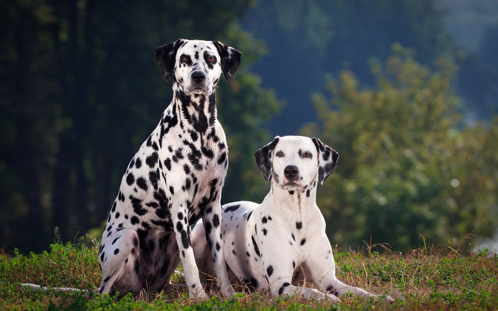 dalmatian-dogs-wallpaper-background-50353-52044-hd-wallpapers