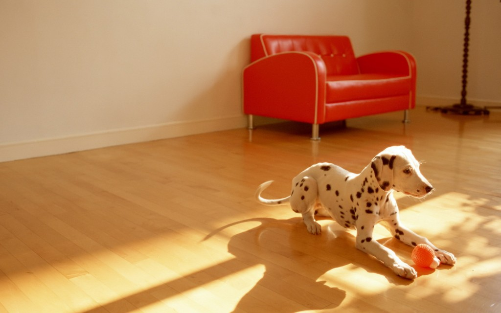dalmatian-pictures-33072-33828-hd-wallpapers
