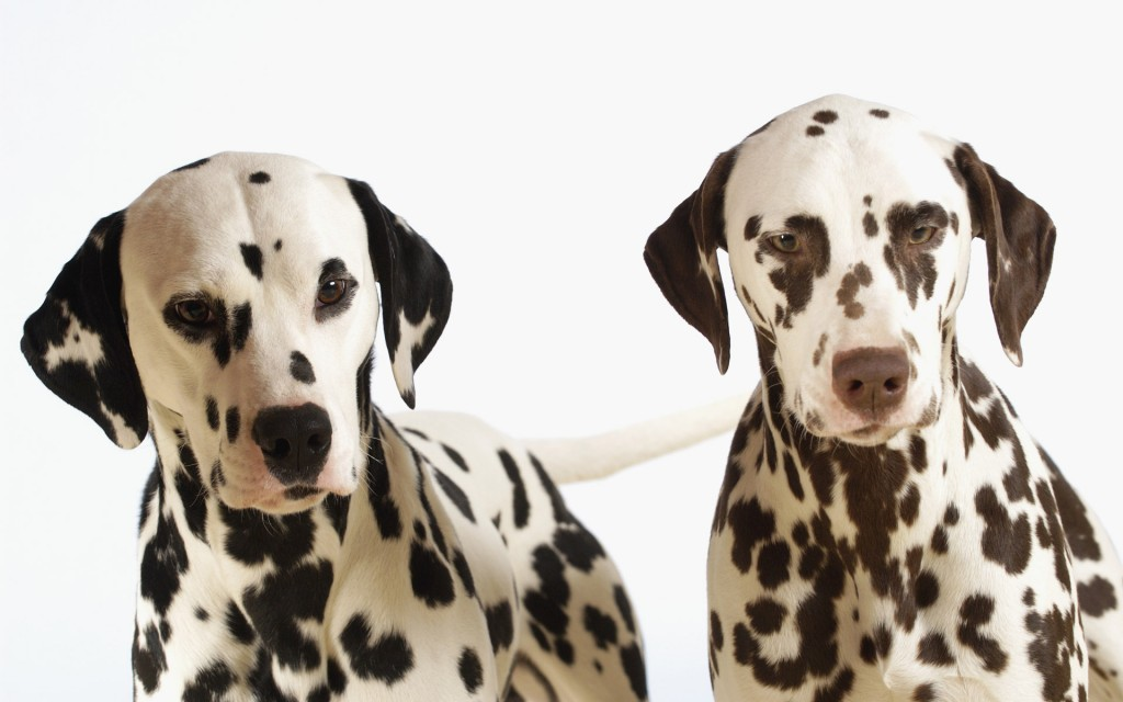 dalmatian-wallpaper-33055-33811-hd-wallpapers