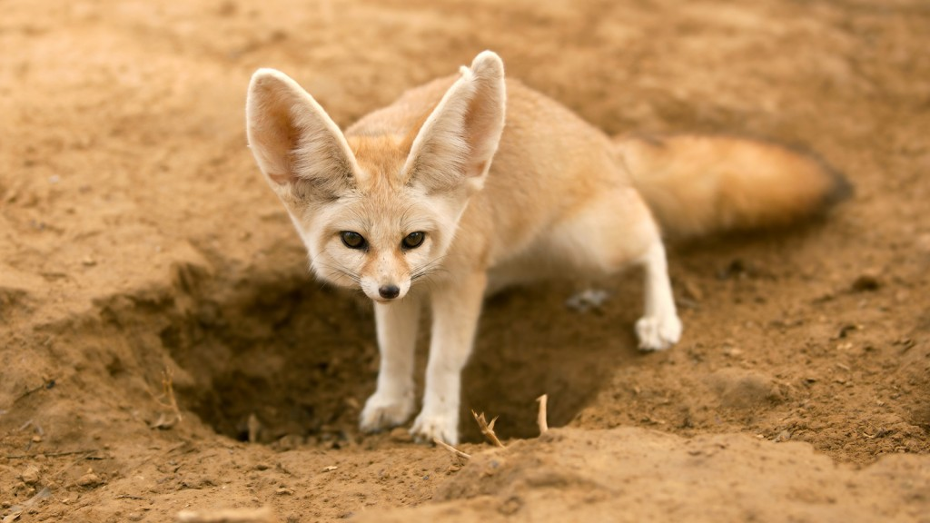 fennec fox computer wallpapers