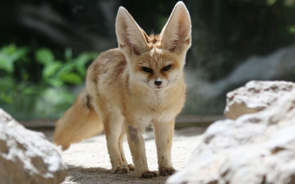 fennec fox desktop wallpapers