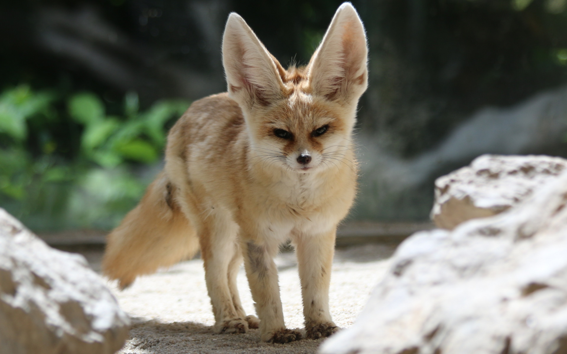 13 Excellent Hd Fennec Fox Wallpapers Hdwallsource Com