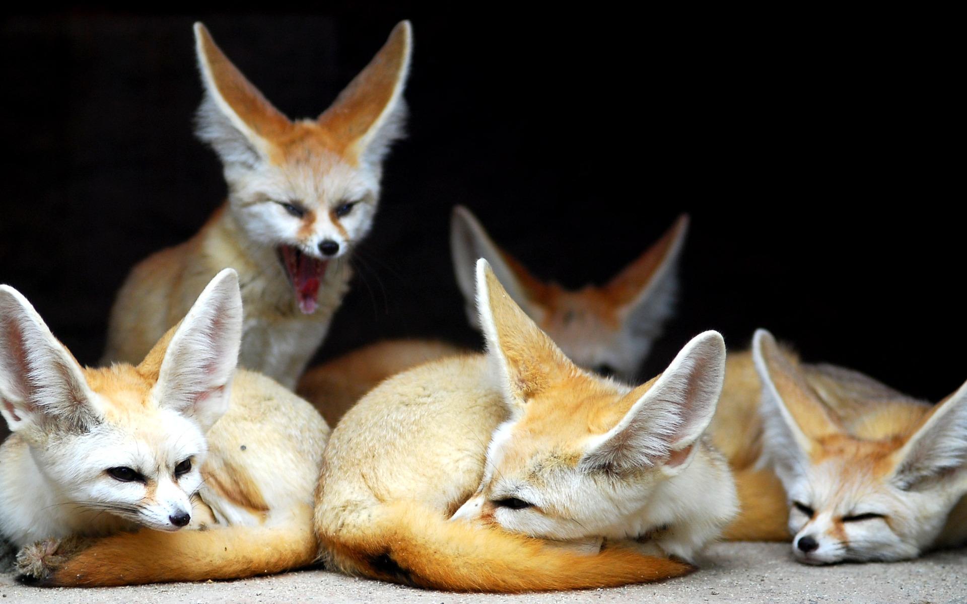 Cute Fennec Fox Wallpaper 35932 1600x900 px ~ HDWallSource.com