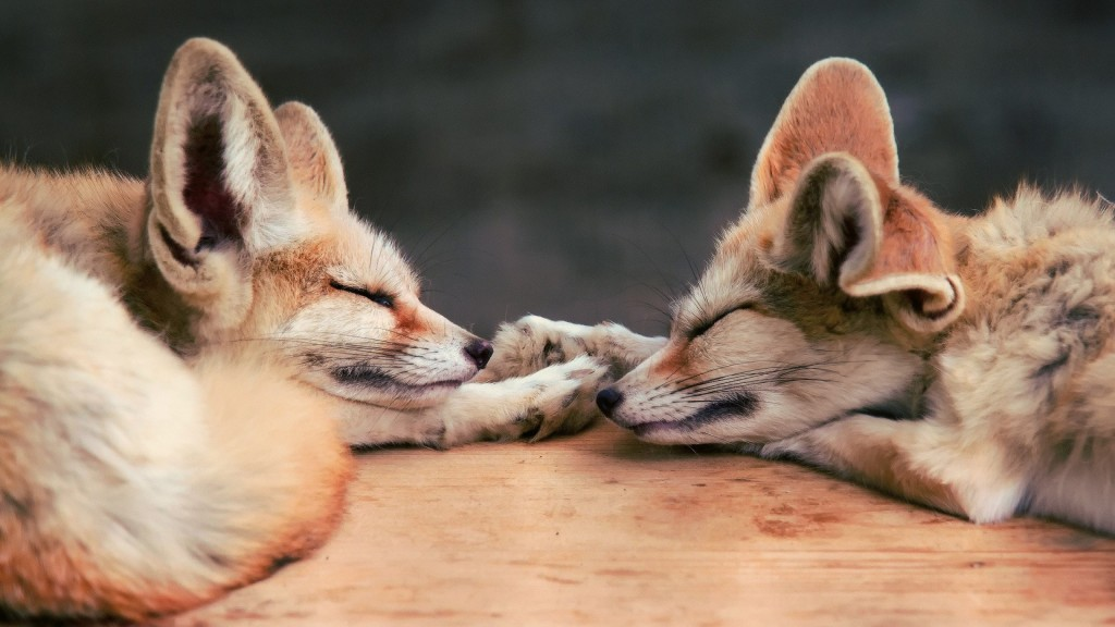 fennec fox widescreen wallpapers