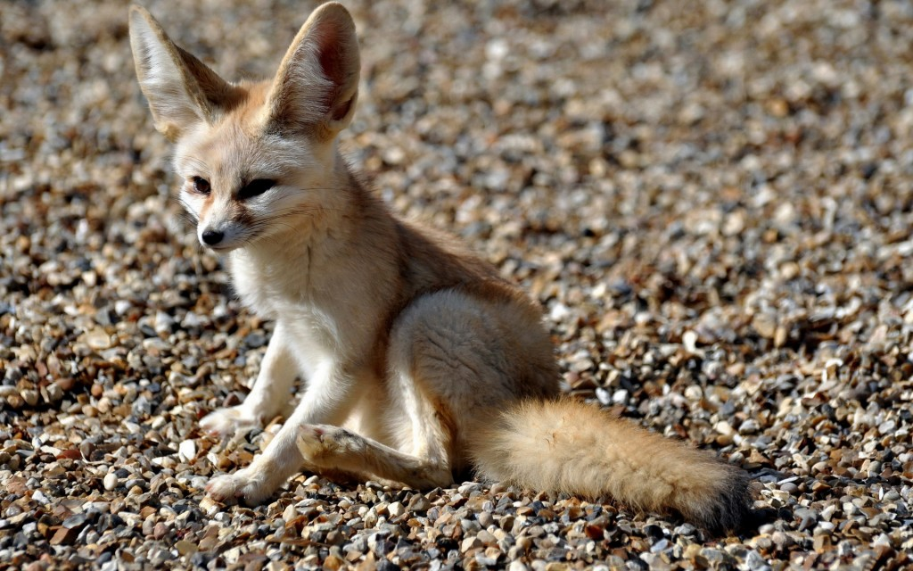 free fennec fox wallpapers