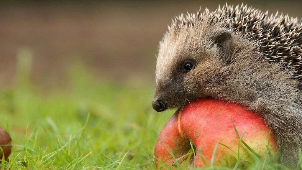 free hedgehog wallpapers
