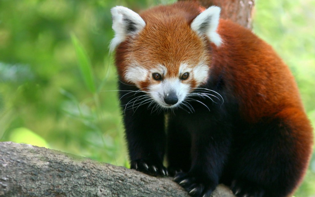 free-red-panda-wallpaper-27527-28244-hd-wallpapers