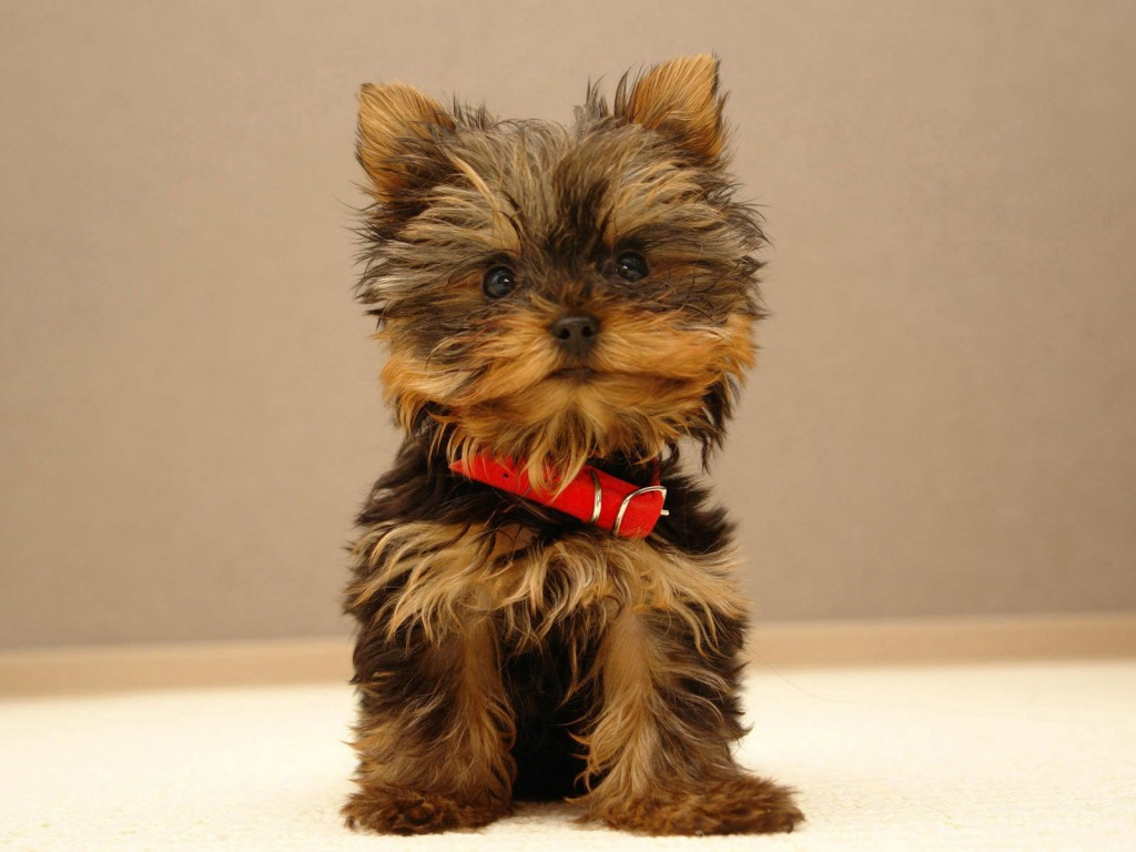 free-yorkie-wallpaper-24222-24885-hd-wallpapers