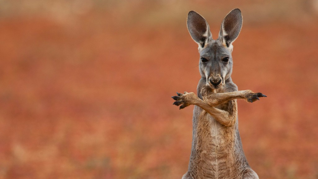 funny-kangaroo-wallpaper-23903-24559-hd-wallpapers