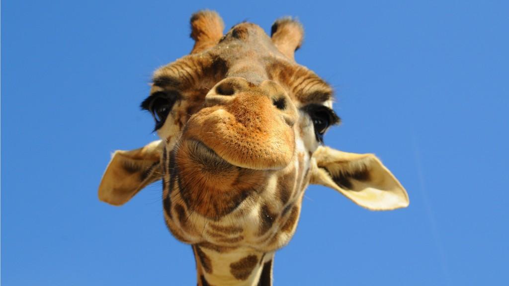 giraffe-close-up-wallpaper-45527-46753-hd-wallpapers