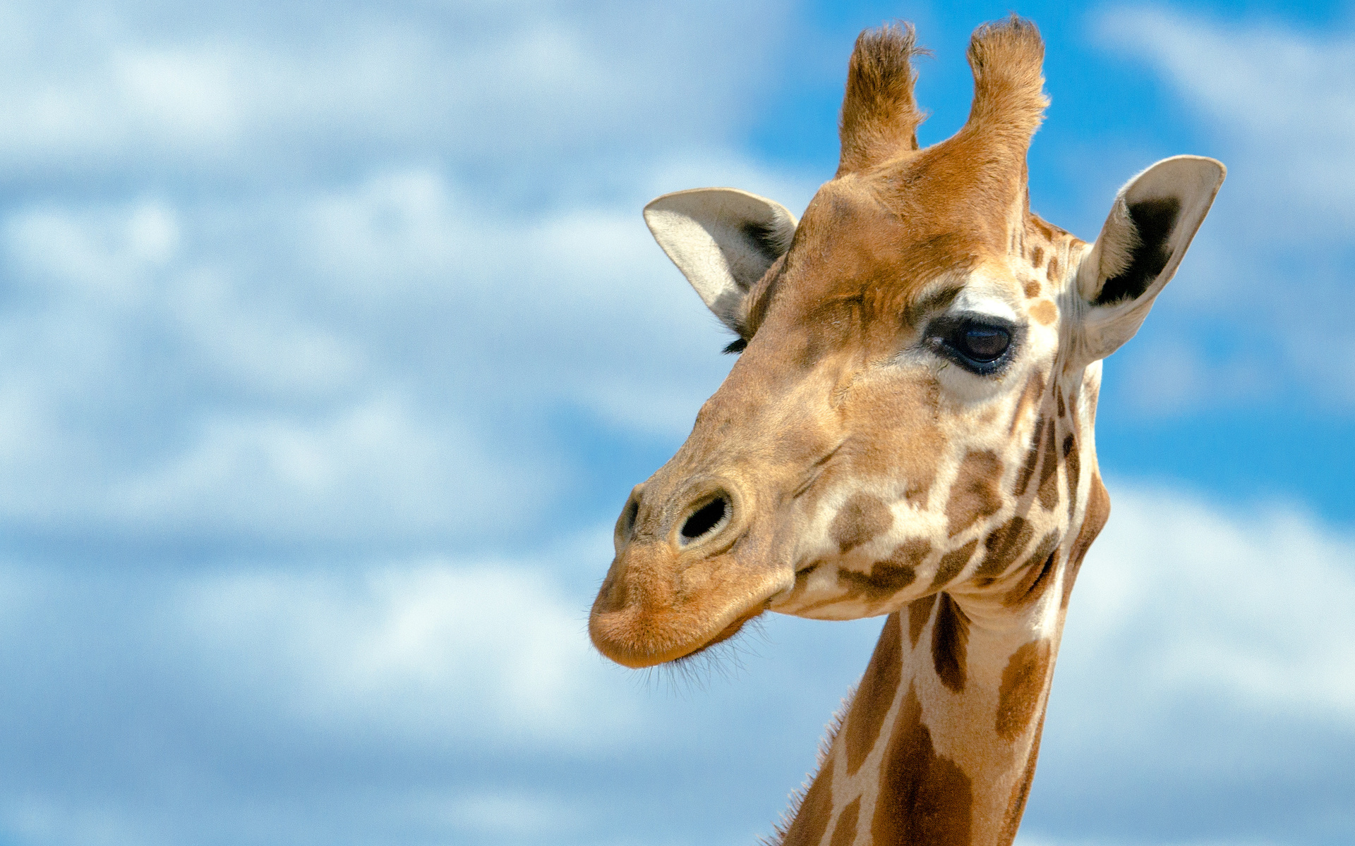 giraffe wallpapers hd pictures - photo #14
