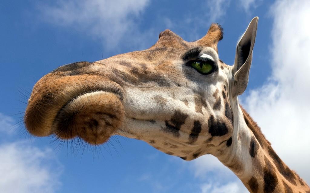 giraffe-desktop-wallpaper-50159-51846-hd-wallpapers