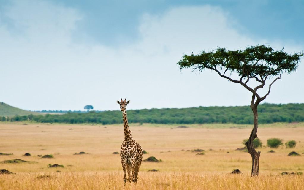 giraffe-desktop-wallpaper-50162-51849-hd-wallpapers