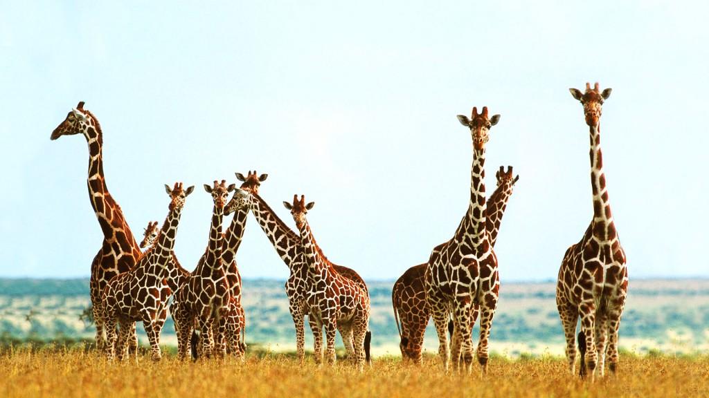 giraffe-wallpaper-11450-11827-hd-wallpapers