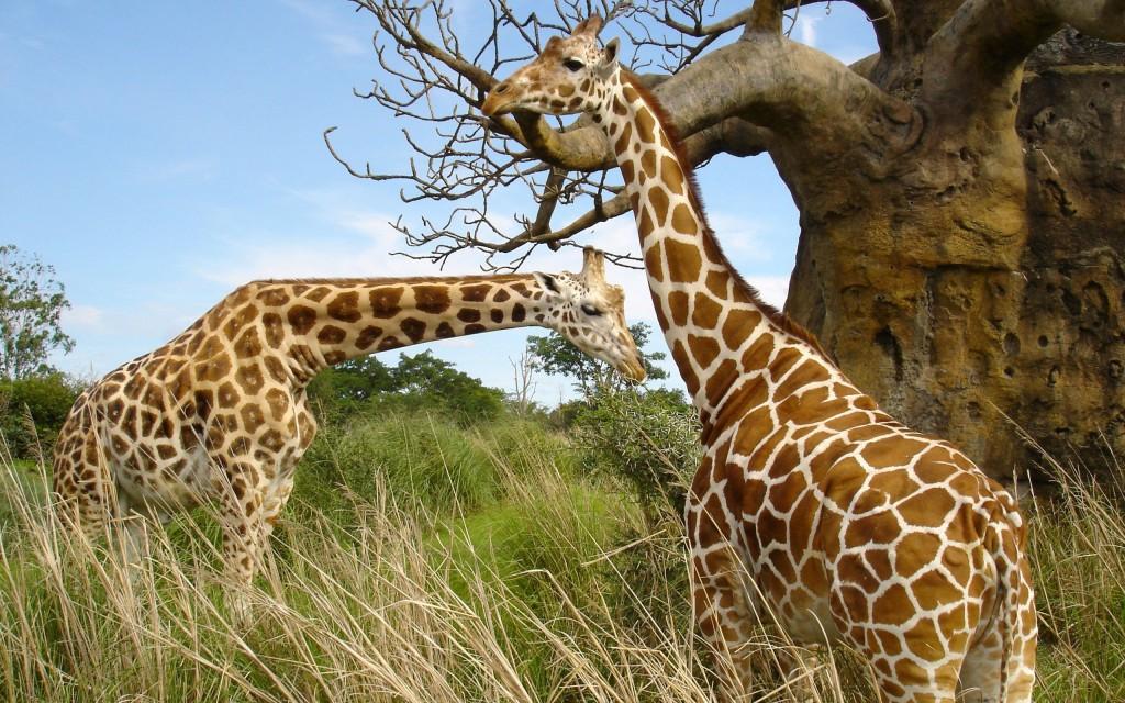giraffe-wallpaper-11452-11829-hd-wallpapers