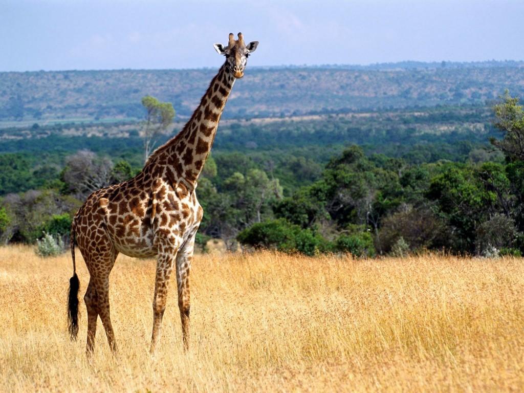 giraffe-wallpaper-11455-11832-hd-wallpapers