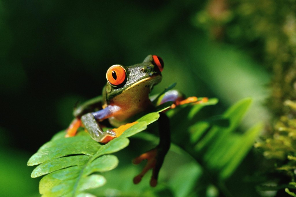 green-frog-33414-34171-hd-wallpapers