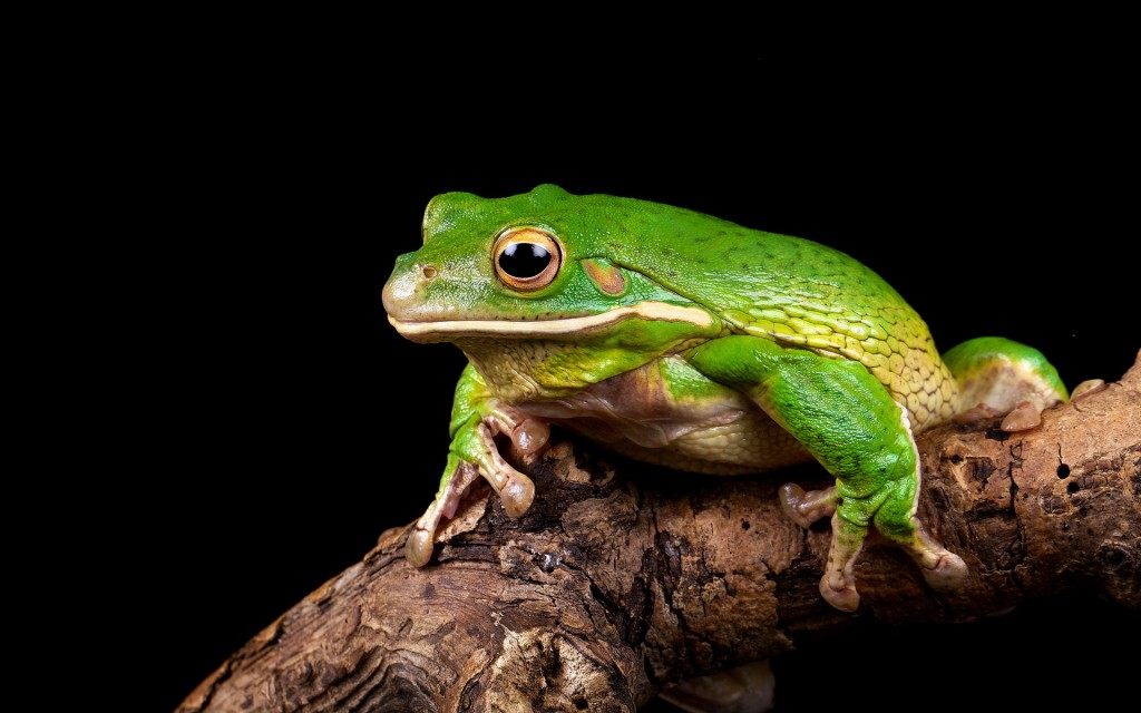 green-frog-desktop-wallpaper-50800-52493-hd-wallpapers