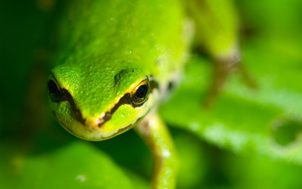 green-frog-hd-33405-34162-hd-wallpapers