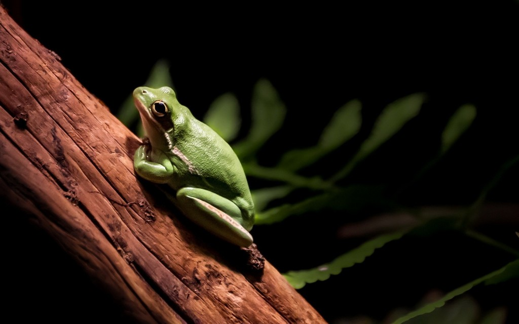 green-frog-pictures-33408-34165-hd-wallpapers