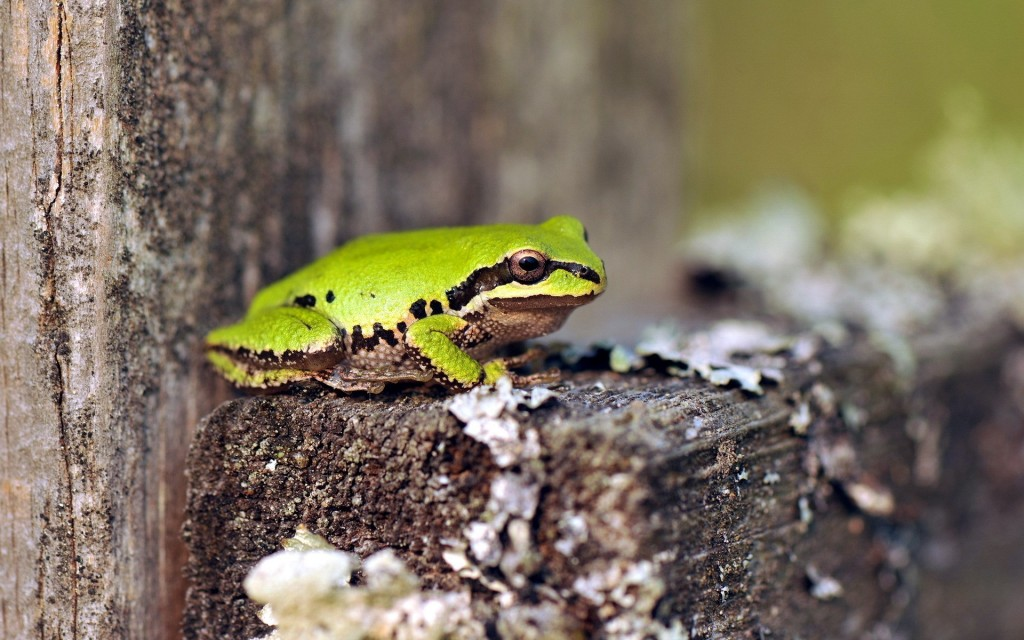 green-frog-wallpaper-33413-34170-hd-wallpapers
