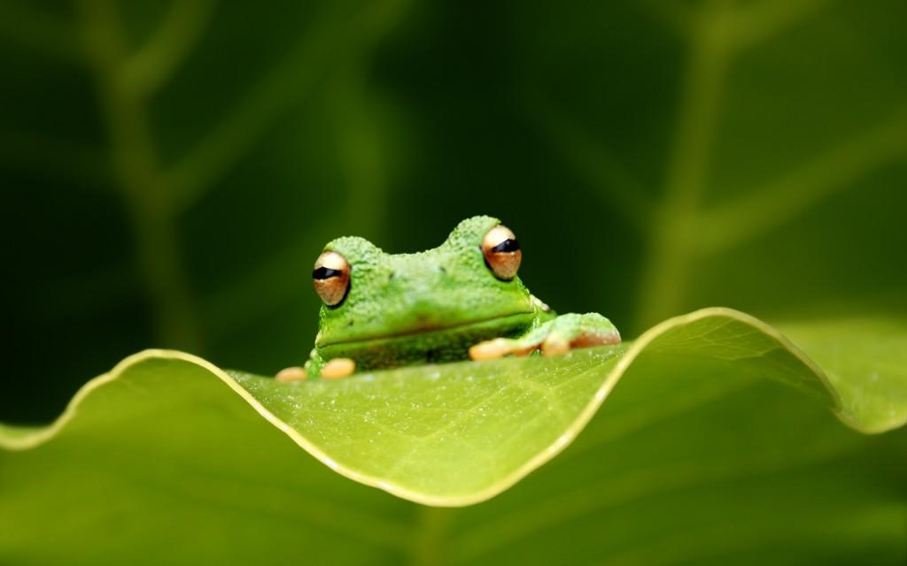 green-frog-wallpaper-50806-52499-hd-wallpapers