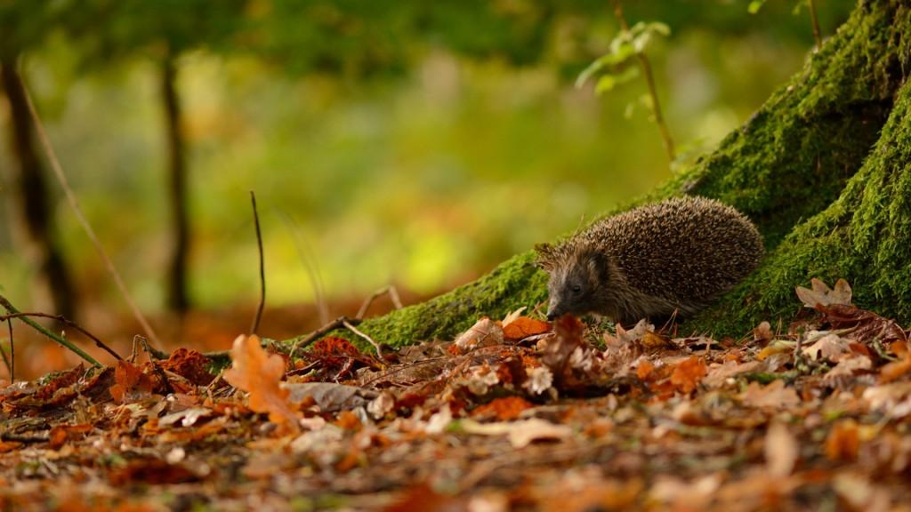 hedgehog-animal-wallpaper-50472-52163-hd-wallpapers