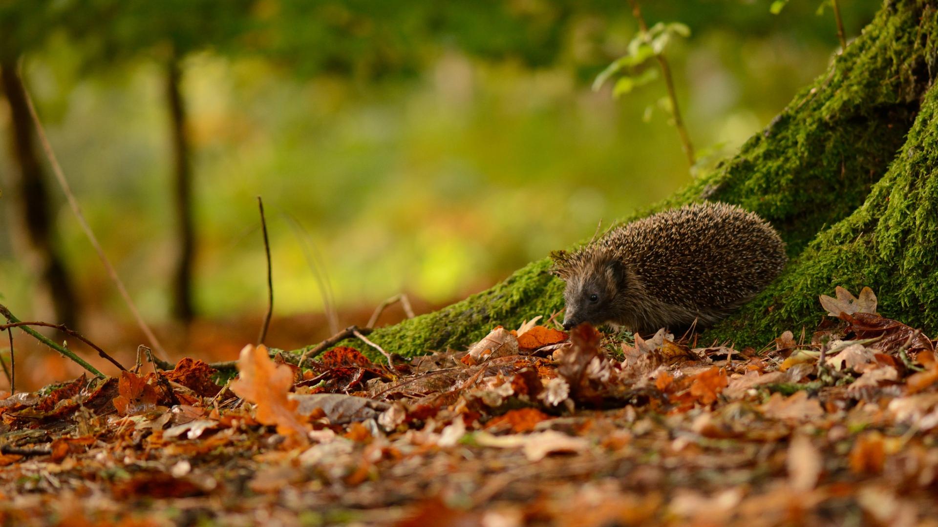12 wonderful hd hedgehog wallpapers hdwallsourcecom