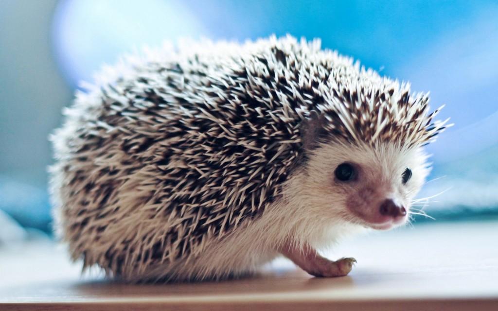 hedgehog-animal-wallpaper-pictures-50476-52167-hd-wallpapers