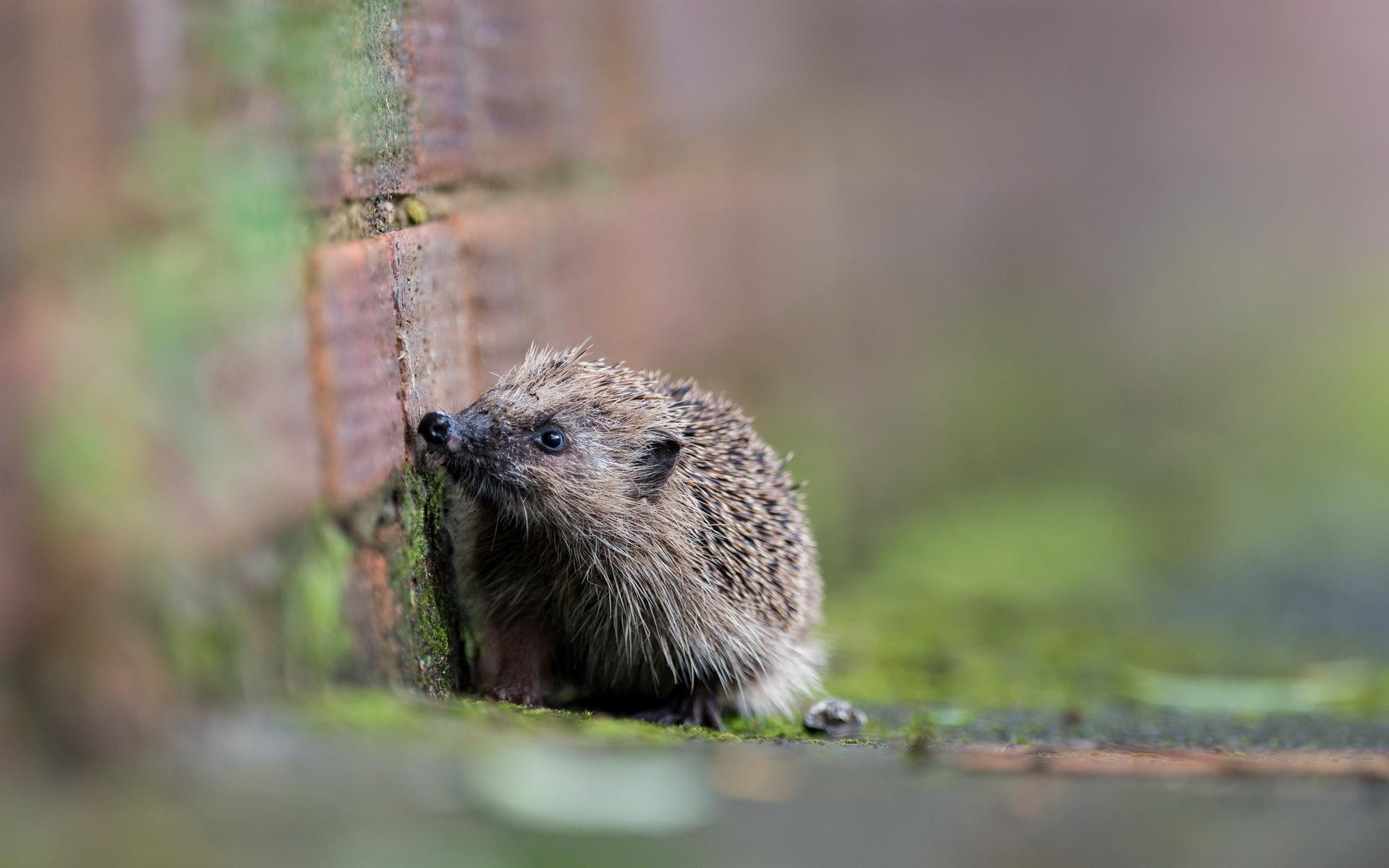 12 Wonderful HD Hedgehog Wallpapers