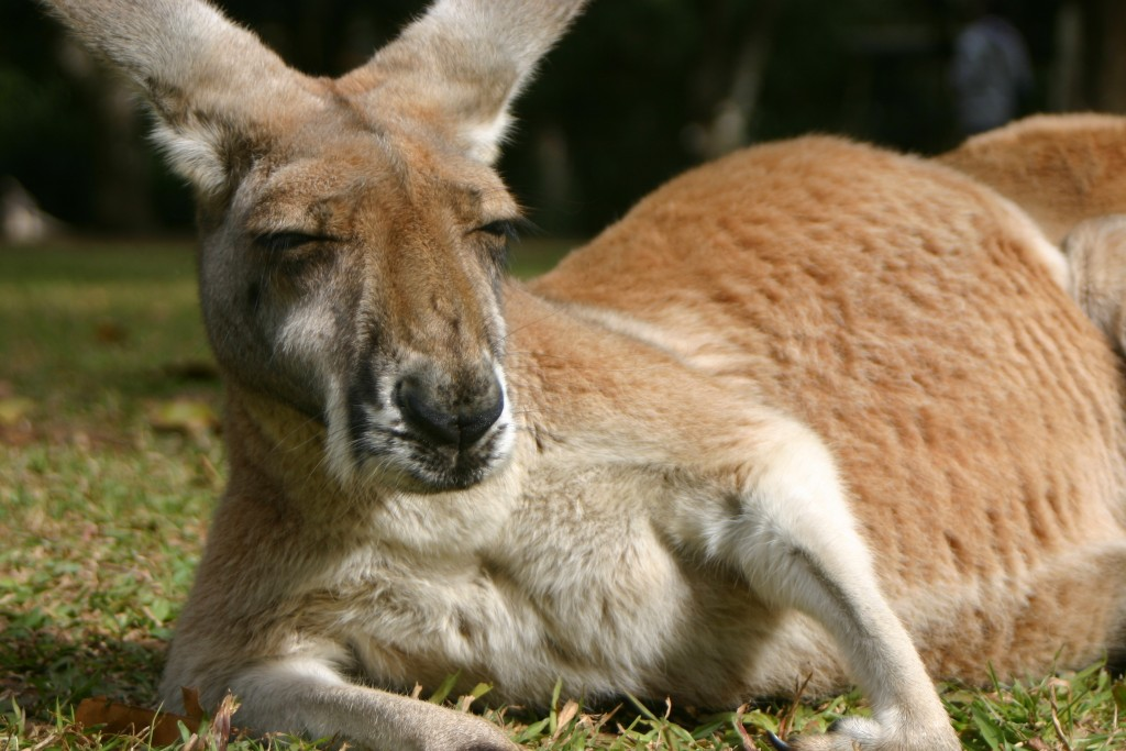 kangaroo-23908-24564-hd-wallpapers