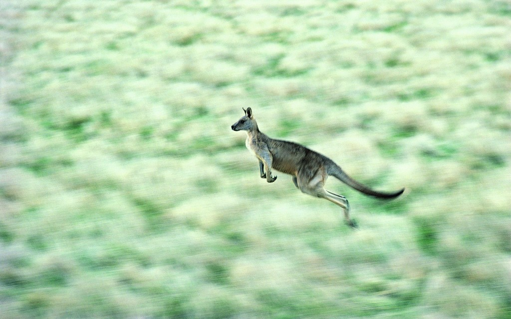 kangaroo-background-23912-24568-hd-wallpapers