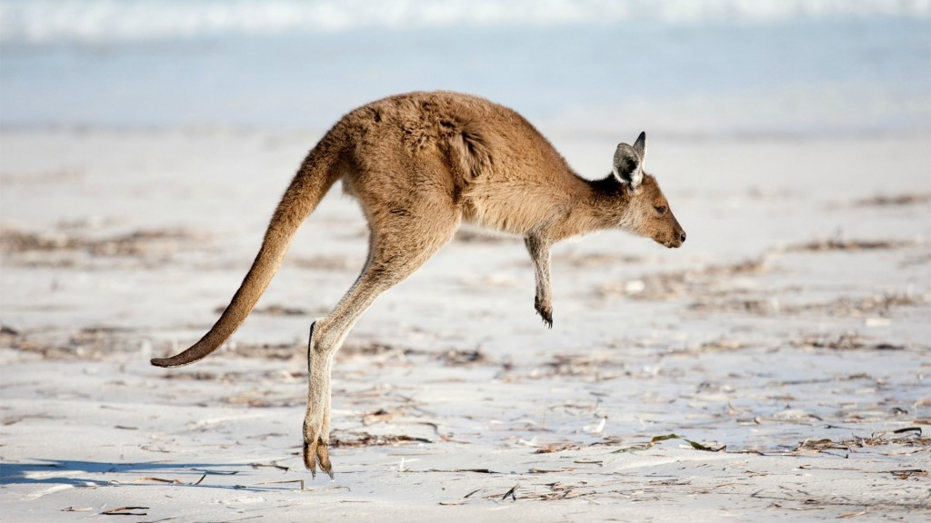 kangaroo-desktop-wallpaper-50455-52146-hd-wallpapers