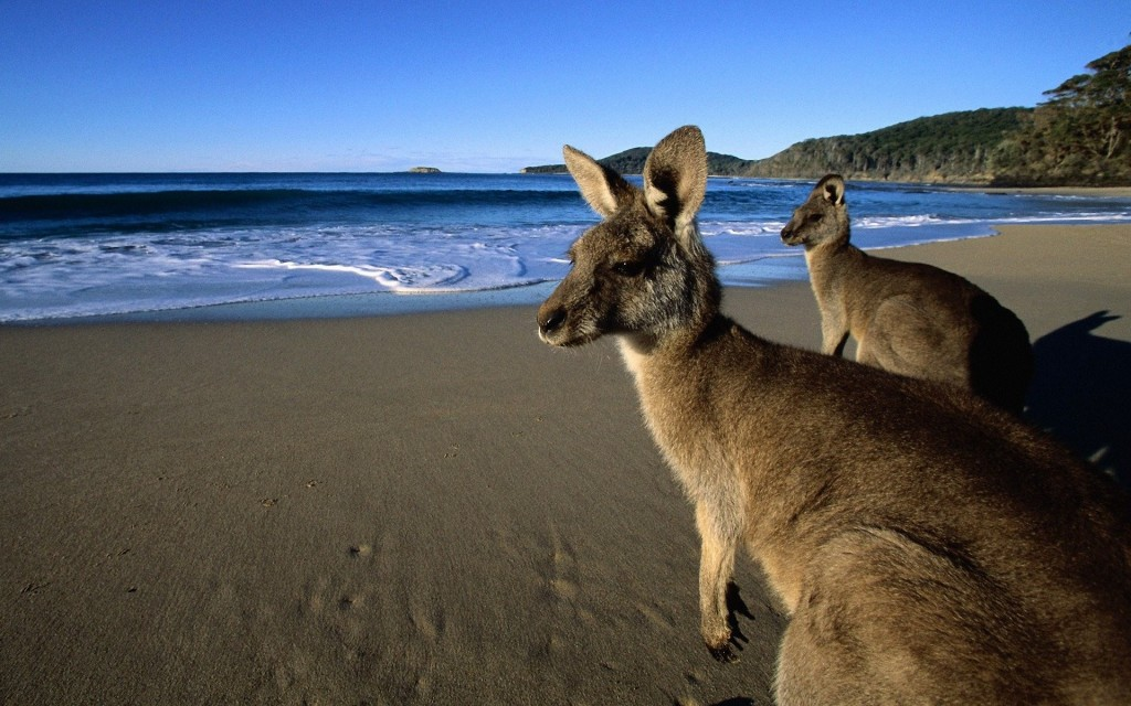 kangaroo-wallpaper-23909-24565-hd-wallpapers
