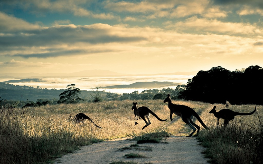 kangaroo-wallpapers-23913-24569-hd-wallpapers