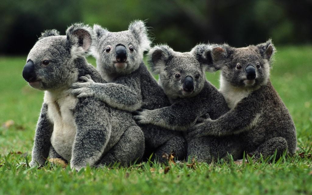 koala family desktop wallpapers
