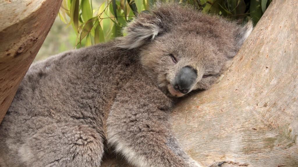koala sleeping pictures wallpapers