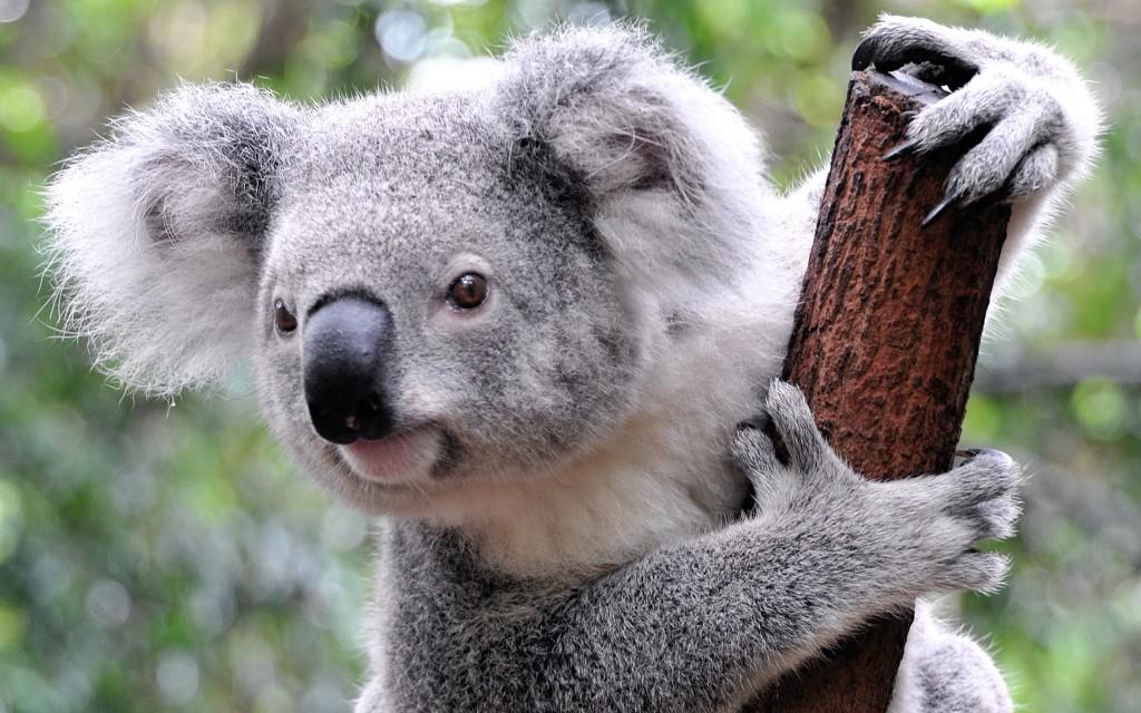 koala widescreen wallpapers