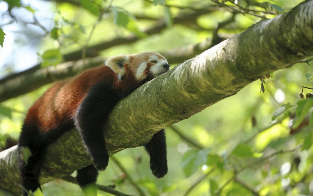 lazy-red-panda-wallpaper-50825-52518-hd-wallpapers
