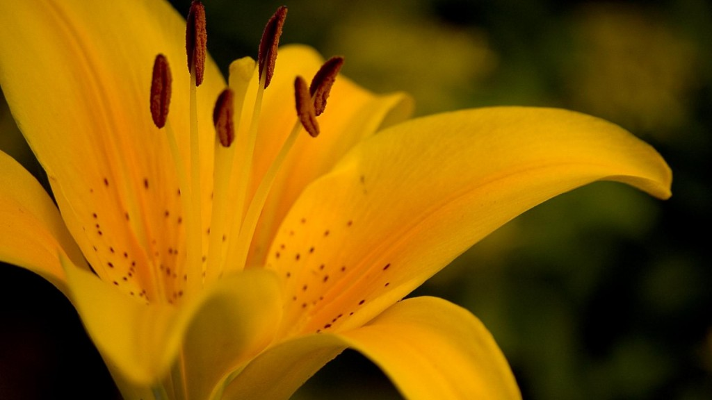 lily-flowers-wallpaper-30778-31501-hd-wallpapers