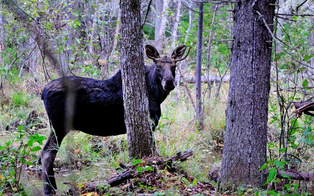 moose desktop wallpapers